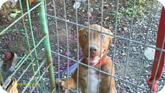 American Pit Bull Terrier Puppy for adoption in San Diego, California - Max