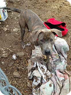 Pit Bull Terrier/Weimaraner Mix Dog for adoption in Wanaque, New Jersey - hunter