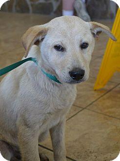 Labrador Retriever Mix Dog for adoption in Houston, Texas - Bailey