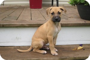 Shepherd (Unknown Type)/Boxer Mix Puppy for adoption in Marlton, New Jersey - Buster