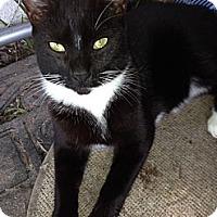 Domestic Shorthair Cat for adoption in Miami, Florida - Tux