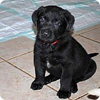 Adopt A Pet :: Sawyer - Minneola, FL
