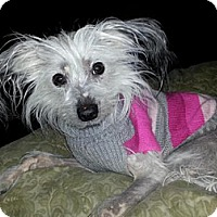 Adopt A Pet :: Dollbaby - Mt Gretna, PA