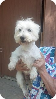 Westie, West Highland White Terrier Dog for adoption in Crump, Tennessee - Wesley