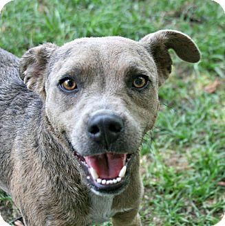 Catahoula Leopard Dog Mix Dog for adoption in Lufkin, Texas - Bruce