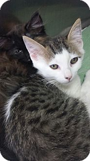 American Shorthair Kitten for adoption in Gainesville, Georgia - bear