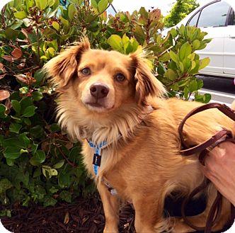 Spaniel (Unknown Type)/Corgi Mix Dog for adoption in Pleasanton, California - Simba