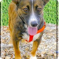Adopt A Pet :: Little Sheila companion - Sacramento, CA