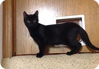 Domestic Shorthair Kitten for adoption in Des Moines, Iowa - Glynt