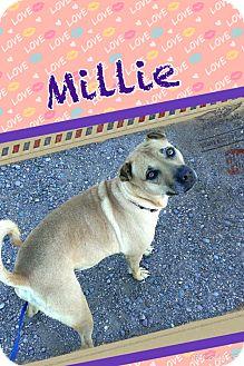 Labrador Retriever/Shar Pei Mix Dog for adoption in Apache Junction, Arizona - Millie