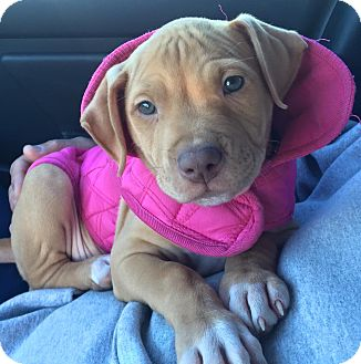 Pit Bull Terrier Mix Puppy for adoption in Mansfield, Massachusetts - Juliet- Adoption Pending