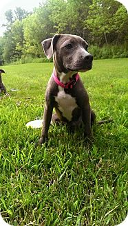 Weimaraner/American Pit Bull Terrier Mix Puppy for adoption in Colmar, Pennsylvania - Daisy