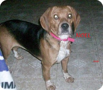 Beagle Dog for adoption in Ventnor City, New Jersey - NOEL