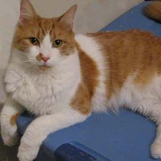 Domestic Longhair Cat for adoption in Garner, North Carolina - Bobby