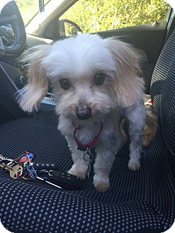 Maltese/Yorkie, Yorkshire Terrier Mix Dog for adoption in Hagerstown, Maryland - Clarence (rbf)