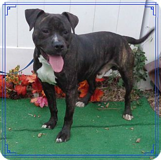 Pit Bull Terrier Mix Dog for adoption in Marietta, Georgia - WAGGLES