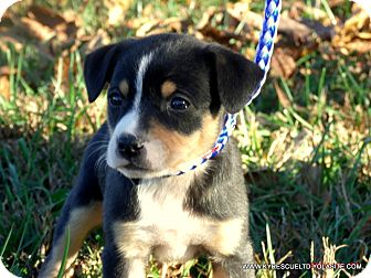 Australian Shepherd Mix Puppy for adoption in Waterbury, Connecticut - RILEY/ADOPTED
