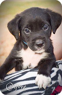 Boxer/Labrador Retriever Mix Puppy for adoption in DFW, Texas - Capone
