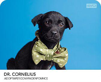 Labrador Retriever/Australian Cattle Dog Mix Puppy for adoption in Ogden, Utah - Dr Cornelius