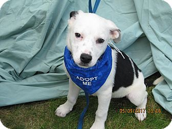 Boxer/Labrador Retriever Mix Puppy for adoption in Glastonbury, Connecticut - Rodeo-ADOPTED