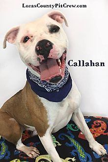 American Staffordshire Terrier/American Pit Bull Terrier Mix Dog for adoption in Toledo, Ohio - Callahan