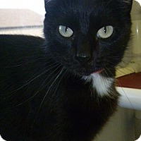 Domestic Shorthair Cat for adoption in Hamburg, New York - Camilla