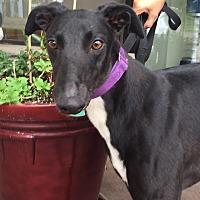 Adopt A Pet :: Paisley - Coon Rapids, MN
