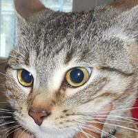 Domestic Shorthair/Domestic Shorthair Mix Cat for adoption in Opelousas, Louisiana - Mr