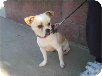 Chihuahua/Terrier (Unknown Type, Medium) Mix Dog for adoption in Bellflower, California - Skip