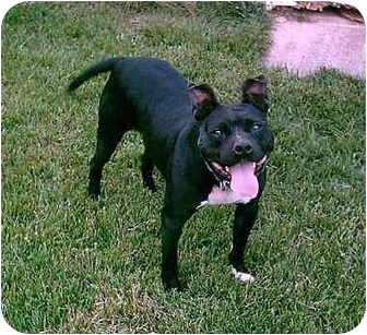 American Pit Bull Terrier Dog for adoption in Gainesboro, Tennessee - Brooklyn