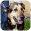 Photo 3 - German Shepherd Dog Mix Dog for adoption in Berkeley, California - Pico