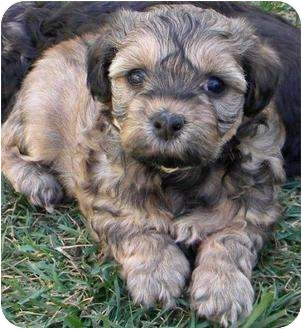 Shih Tzu/Silky Terrier Mix Puppy for adoption in La Habra Heights, California - ShihTzu Sweeties (4 Boys)