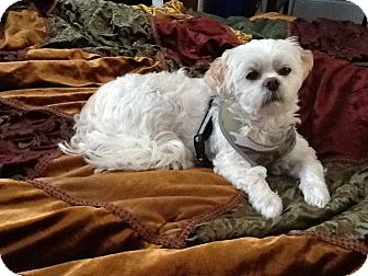 Lhasa Apso Dog for adoption in Lake Forest, California - Mop