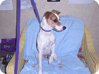 """Jack Russell Terrier Mix Dog for adoption in New Castle, Pennsylvania - """"SPEEDY"""""""