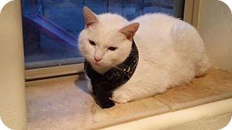 Domestic Shorthair Cat for adoption in Tucson, Arizona - Uki
