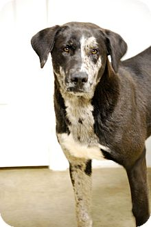 Blue Heeler/Labrador Retriever Mix Dog for adoption in Oakville, Connecticut - Joker