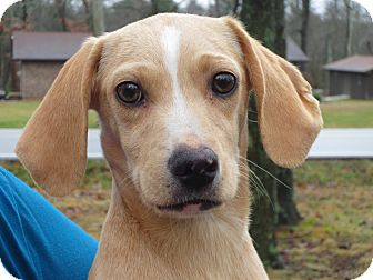 Dachshund/Terrier (Unknown Type, Small) Mix Puppy for adoption in Plainfield, Connecticut - Butterbean