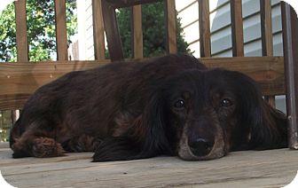 Dachshund Dog for adoption in Marysville, Ohio - Fritz