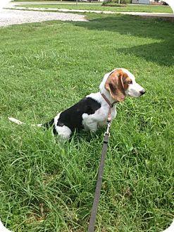 Beagle/Dachshund Mix Dog for adoption in Stilwell, Oklahoma - Blakely
