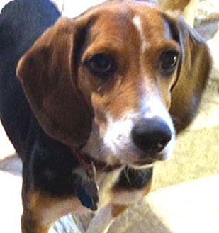Beagle Dog for adoption in Houston, Texas - CiCi