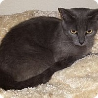 Adopt A Pet :: Antoinette - Colorado Springs, CO