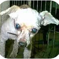 Adopt A Pet :: Iggy - dewey, AZ