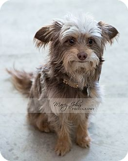 Yorkie, Yorkshire Terrier/Poodle (Miniature) Mix Puppy for adoption in Beverly Hills, California - Eric Clapton