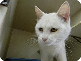 Domestic Shorthair Cat for adoption in Tyner, North Carolina - Snowbelle