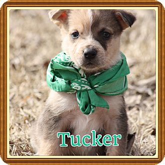 Blue Heeler/Labrador Retriever Mix Puppy for adoption in Glastonbury, Connecticut - Tucker