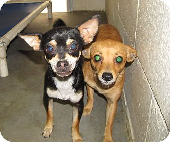Chihuahua Mix Dog for adoption in Pompton Lakes, New Jersey - CHIHUAHUA GIRLS YOUNG