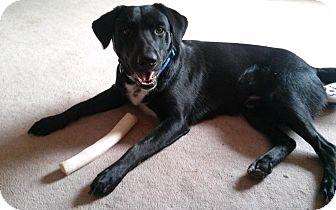Labrador Retriever Mix Dog for adoption in Chandler, Arizona - Levi