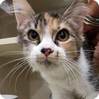Domestic Mediumhair Kitten for adoption in Gilbert, Arizona - Marcie