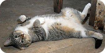 Domestic Shorthair Cat for adoption in Lansing, Kansas - Diego