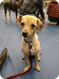 Dachshund/Chihuahua Mix Dog for adoption in Grand Rapids, Michigan - Harmony